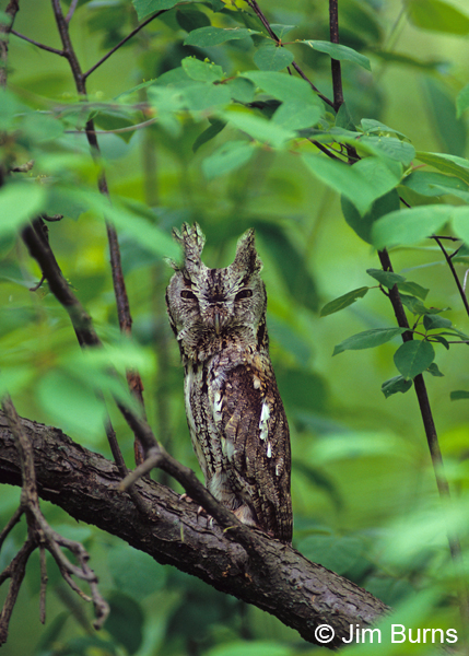 Eastern Screech-Owl camouflage posture