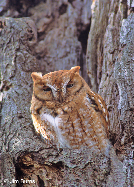 Eastern Screech-Owl red phase