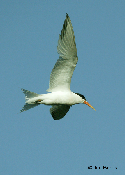 Elegant Tern adult in flight vertical