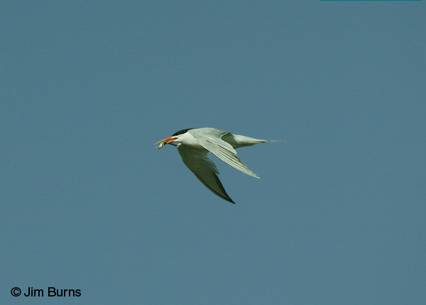 Elegant Tern adult in flight with fish