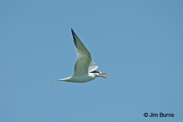 Elegant Tern adult in flight