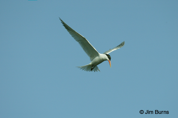 Elegant Tern adult showing alula extended