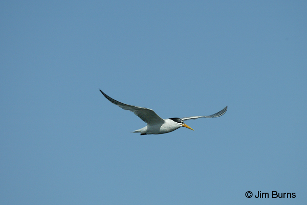 Elegant Tern juvenile in flight