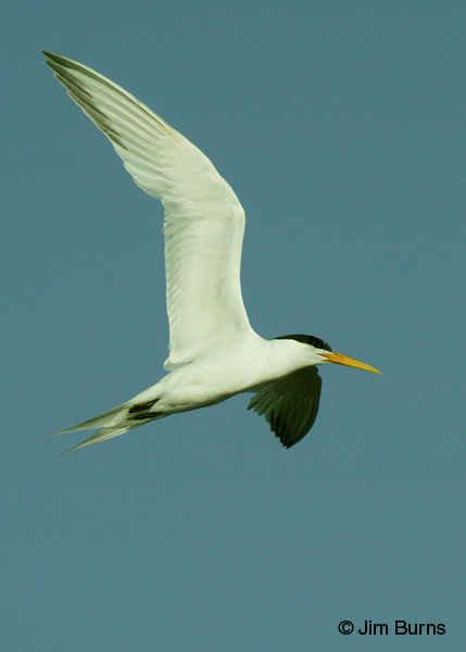Elegant Tern juvenile in flight vertical