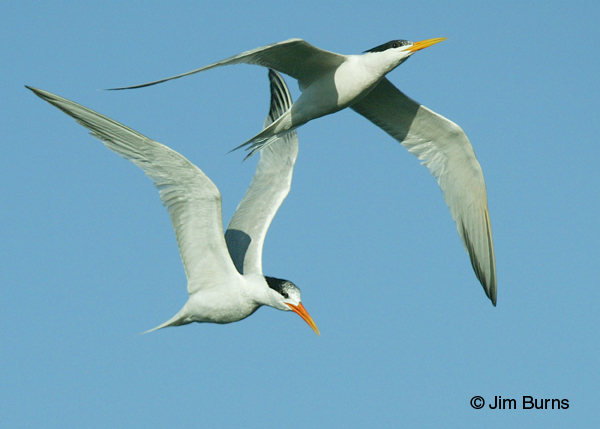 Elegant Terns adults in flight