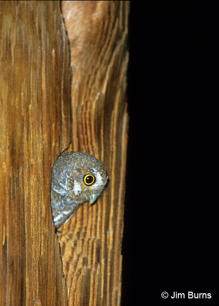 Elf Owl in telephone pole