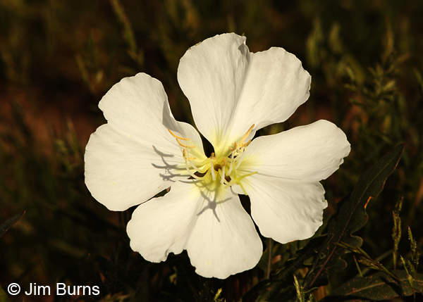 Evening Primrose, Arizona