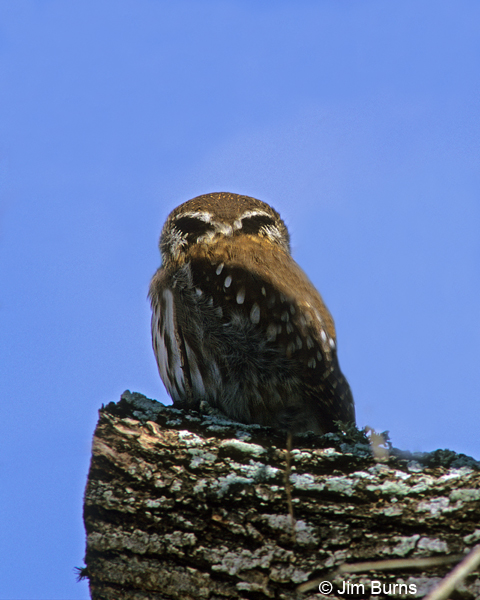 Ferruginous Pygmy-Owl false eye spots