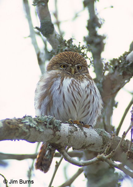 Ferruginous Pygymy-Owl fluffed out