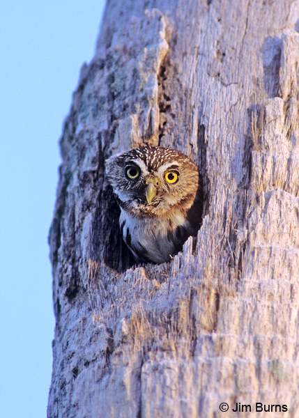 Ferruginous Pygmy-Owl in nest hole