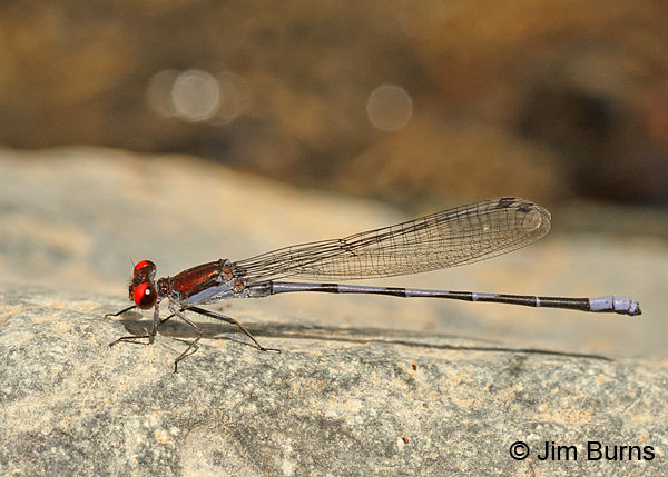 Fiery-eyed Dancer male with bokeh, Maricopa Co., AZ, September 2014
