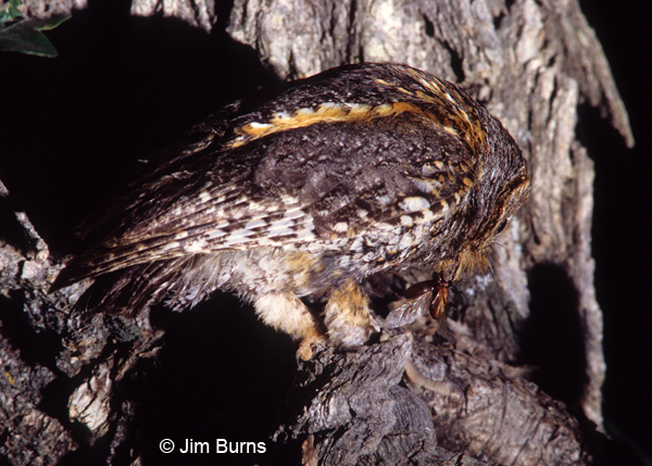 Flammulated Owl male with beetle