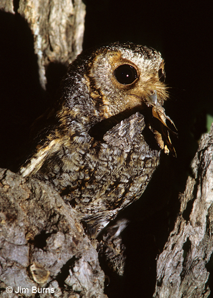 Flammulated Owl male with moth