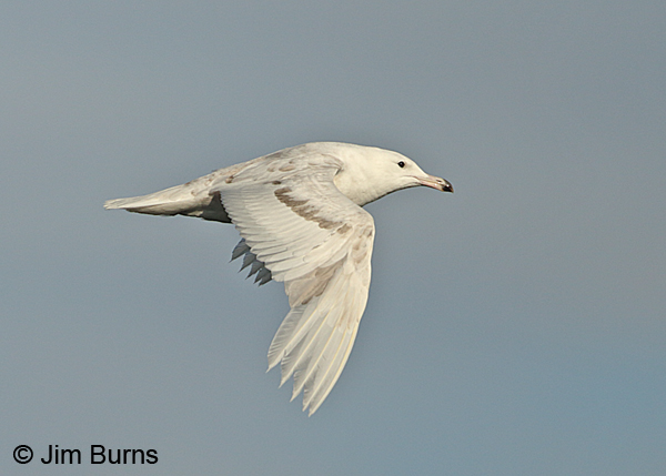 Glaucous Gull first summer in flight