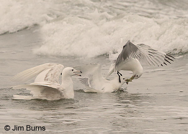 Glaucous Gull first summer watching kittiwake scrum