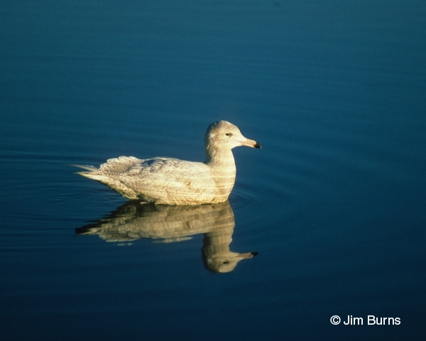 Glaucous Gull juvenile in water