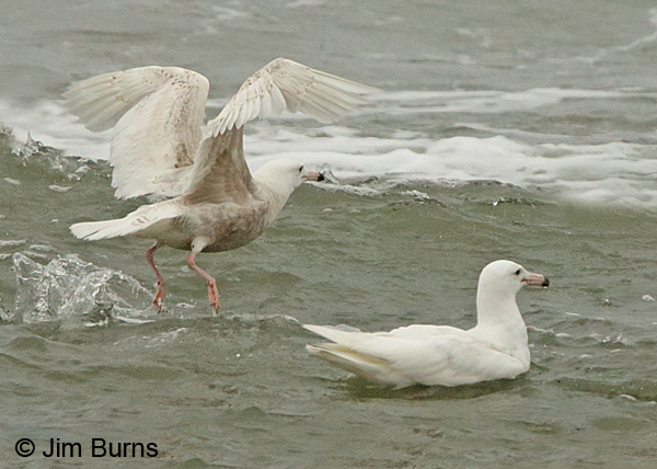 Glaucous Gulls in surf, first summer left, second summer right