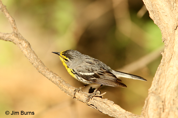 Grace's Warbler male showing crown spotting