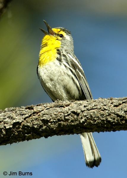 Grace's Warbler male singing