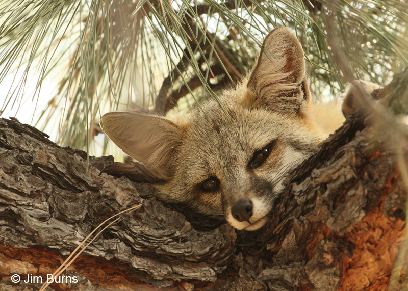 Gray Fox pups near den. Gray ...