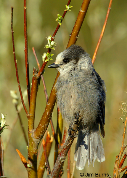 Gray Jay adult canadensis (boreal)