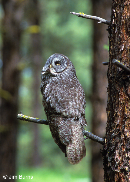 Great Gray Owl watching ravens