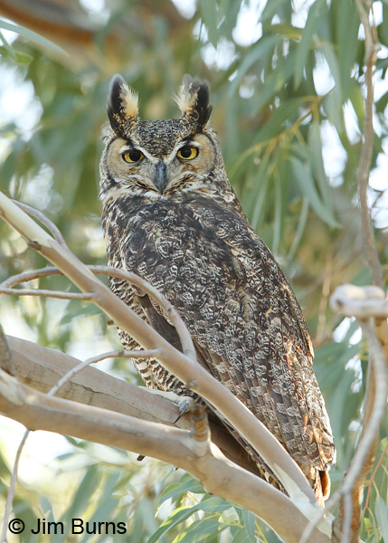 Great Horned Owl arboretum security