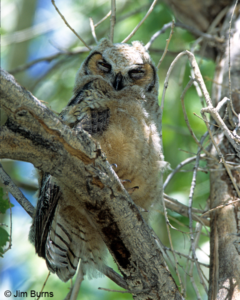 Great Horned Owl brancher