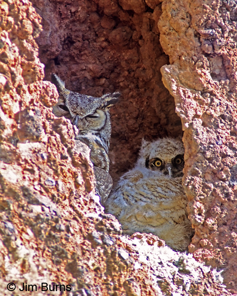 Great Horned Owl cliff family