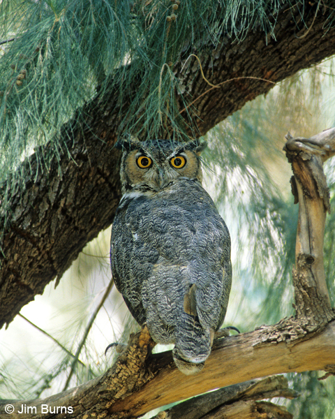 Great Horned Owl eyes wide open