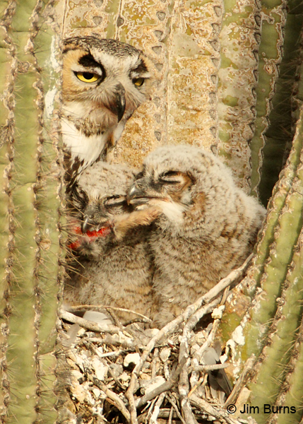Great Horned Owl family with rabbit foot
