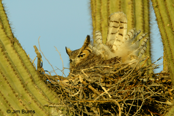 Great Horned Owl female on eggs