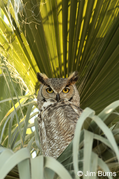 Great Horned Owl male in palm