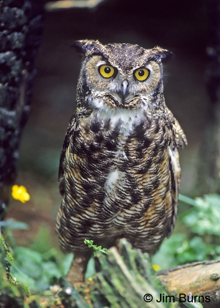 Great Horned Owl saturatus