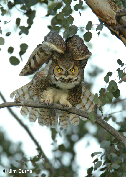 Great Horned Owl stretching