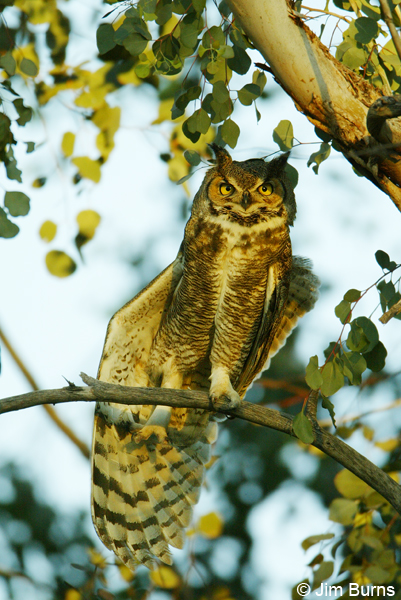 Great Horned Owl wingstretch
