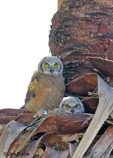 Great Horned owlets in palm skirt