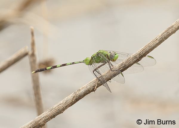 Great Pondhawk male, Pima Co., AZ, August 2014