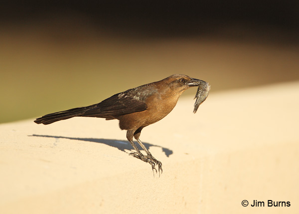 Great-tailed Grackle female with fish