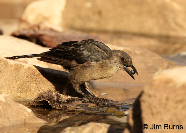 Great-tailed Grackle female softening date in canal