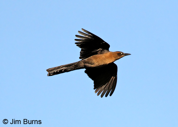 Great-tailed Grackle female in flight