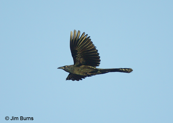 Great-tailed Grackle male in flight