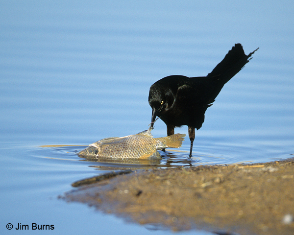 Great-tailed Grackle opportunistic feeding