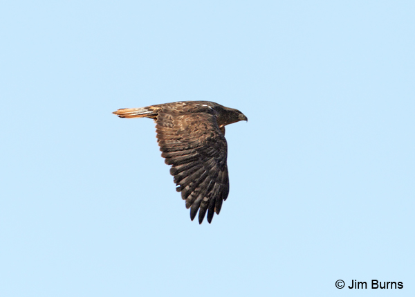 Harlan's dark morph Red-tailed Hawk in flight dorsal view