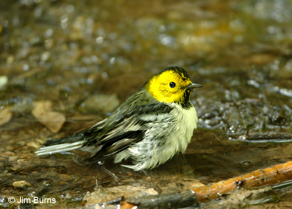 Hermit Warbler female bathing