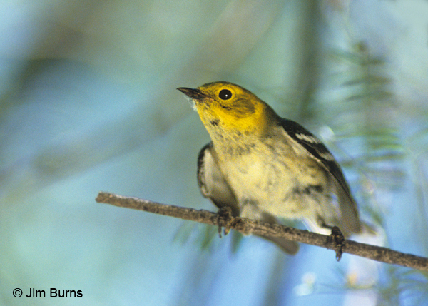 Hermit Warbler first fall female
