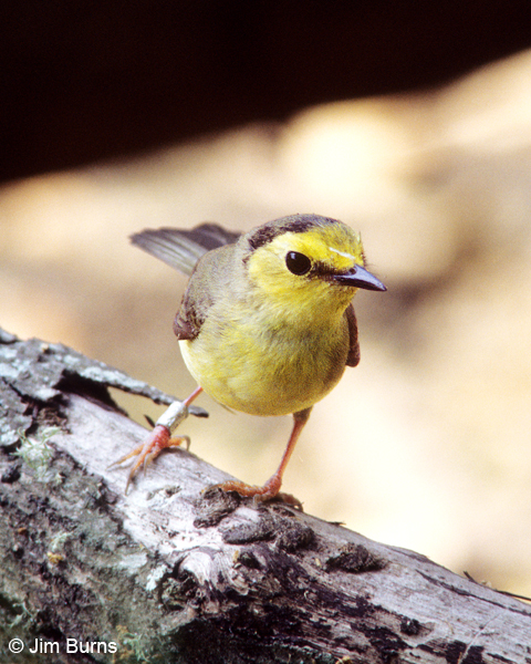 Hooded Warbler first spring female