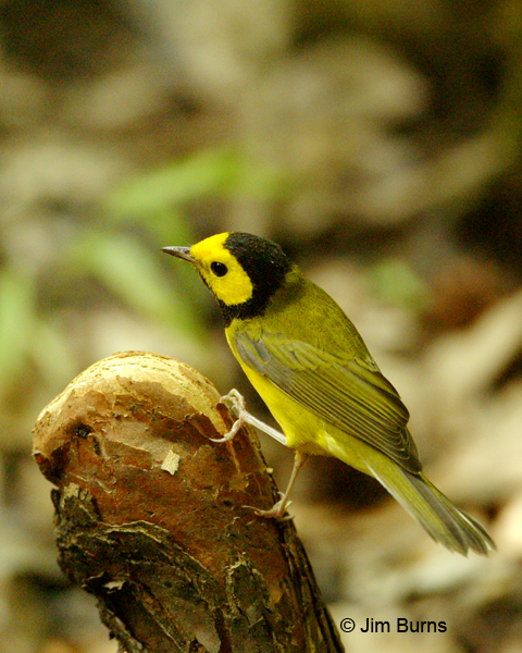 Hooded Warbler male dorsal