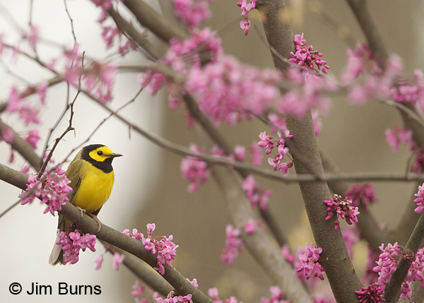 Hooded Warbler male in Redbud #3