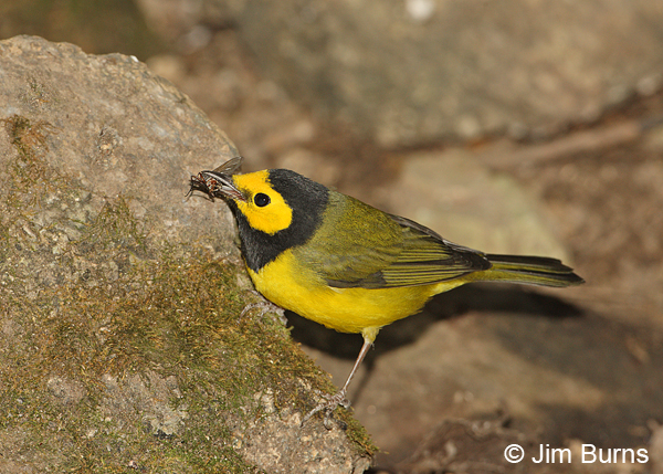 Hooded Warbler male with fly